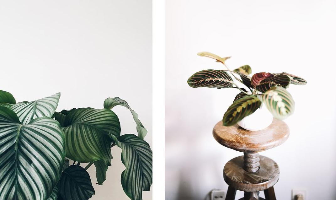 jungle calanthea
